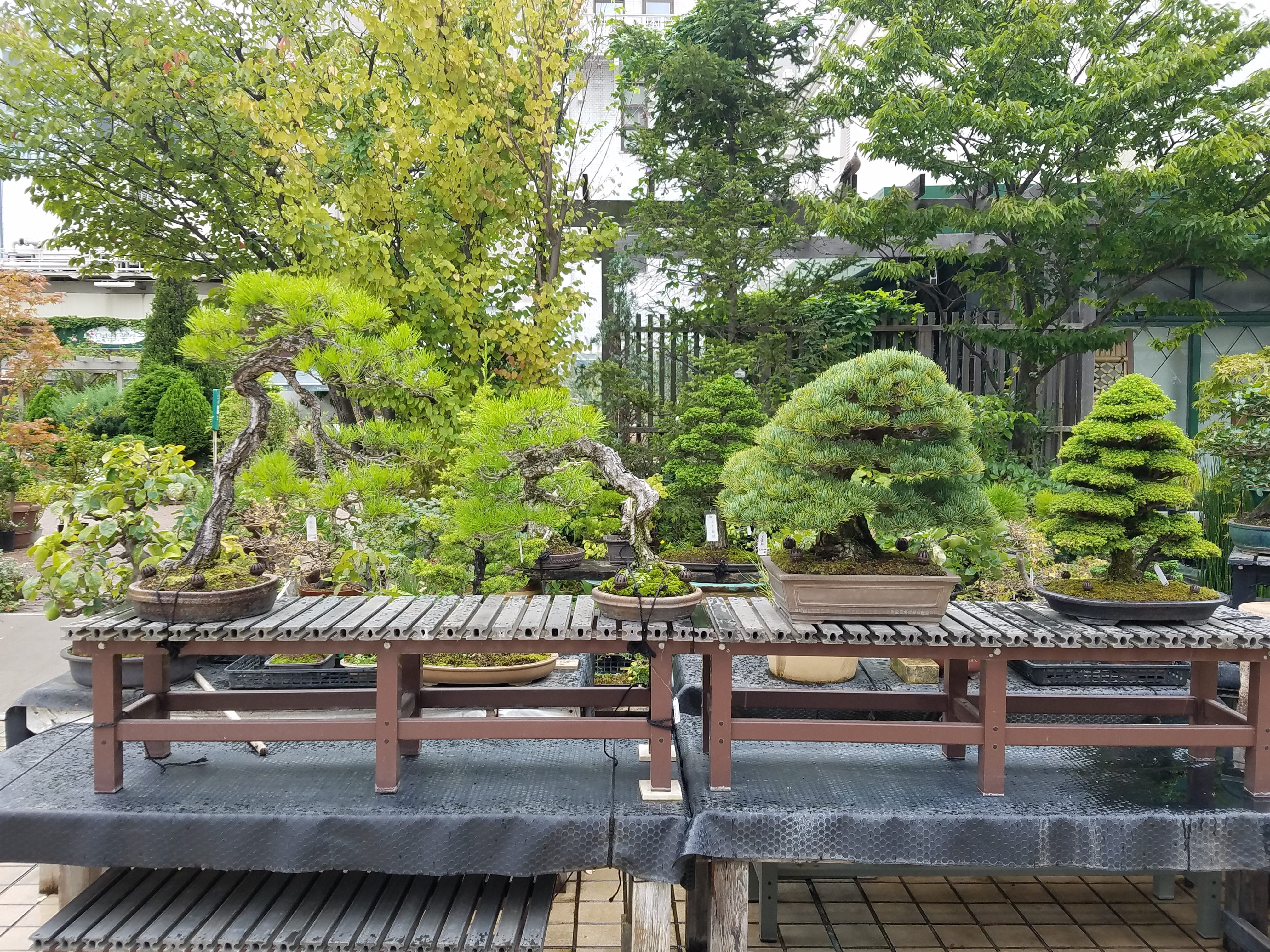 Bonsai for sale - large one on right costs 1,000,000 yen ($10,000)!